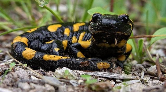 Les amphibiens du Jorat