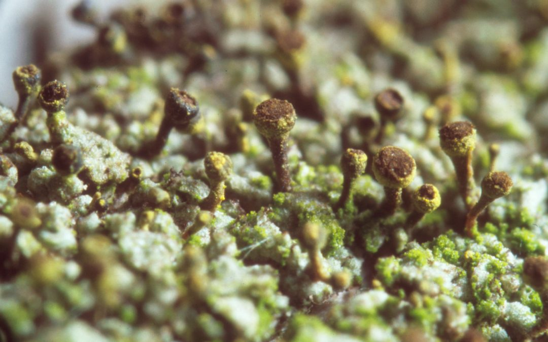 Lichen épingle vert olive