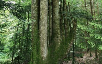 "Terre & Nature : ""Balade rafraîchissante dans l'ombre des arbres du Jorat"""